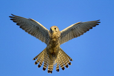 NIS00026873 Common kestrel (Falco tinnunculus) female hovering in blue sky, The Netherlands, Zuid-Holland, Zevenhuizen, Eendragtspolder