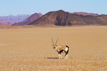 NIS00039970 Gemsbok (Oryx gazella) standing out in the open on an arid plain in Namibia with dramatic mountain range beyond, Namibia, Namib-Naukluft National Park