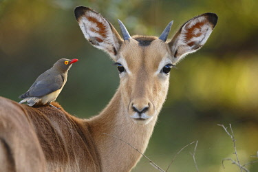 NIS00041113 Impala (Aepyceros melampus) with Red-billed Oxpecker (Buphagus erythrorhynchus), South Africa, Mpumalanga, Kruger National Park
