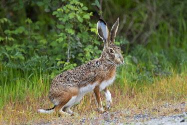 NIS00041487 Iberian Hare (Lepus granatensis) securing, Spain, Extremadura, Almaraz, Embalse de Arrocampo