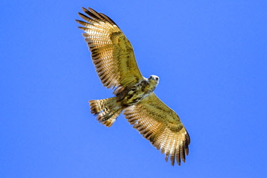 NIS00041617 Great Black Hawk (Buteogallus urubitinga) in overhead flight, Brazil, Mato Grosso, Pantanal