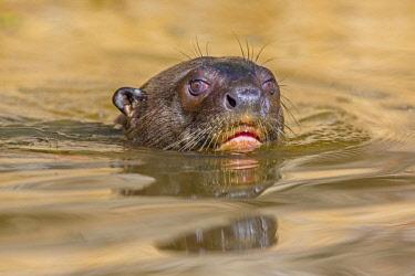 NIS00041644 Giant River Otter (Pteronura brasiliensis) close-up, Brazil, Mato Grosso, Pantanal