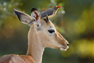NIS00041685 Impala (Aepyceros melampus) with Red-billed Oxpecker (Buphagus erythrorhynchus) sitting on its head, South Africa, Mpumalanga, Kruger National Park