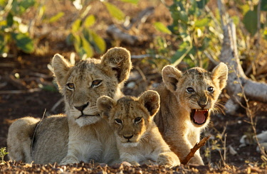 NIS00041722 Lion (Panthera leo) cubs, South Africa, Mpumalanga, Kruger National Park
