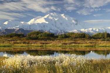 NIS00041759 Denali, also known as Mount McKinley, its former official name, is North America's highest mountain at 20,310 feet or 6,190 meter, in the foreground a pond and cottongrass (Eriophorum), USA, Alaska, D...