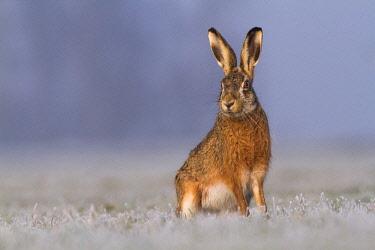 NIS00041803 European Hare (Lepus europaeus) watching for danger, The Netherlands, Utrecht, Woerden