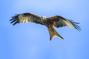 NIS00041860 Red Kite (Milvus milvus) fly-by, Germany, Eifel