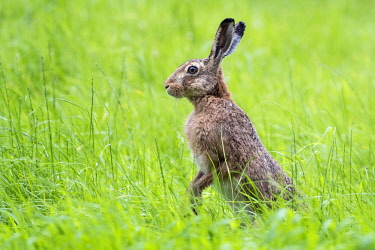 NIS00041914 European Hare (Lepus europaeus) in a meadow standing on its hind legs to secure its environment, The Netherlands, Utrecht, Utrechtse Heuvelrug