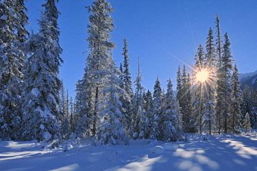 CN02BJY0237 Canada, British Columbia, Kootenay National Park. Sunburst through coniferous trees in winter.