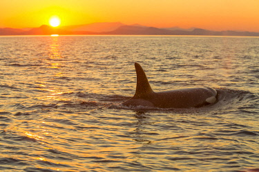 CN02SWR0146 Surfacing Male Resident Orca Whale (Orcinus orca) at Sunset, Boundary Pass, border between British Columbia Gulf Islands Canada and San Juan Islands, Washington State