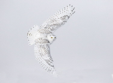 CN08BJY0150 Canada, Ontario. Female snowy owl in flight.