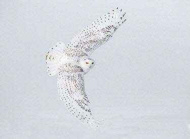 CN08BJY0150 Canada, Ontario. Female snowy owl in flight.