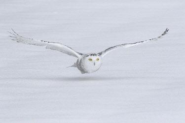 CN08BJY0152 Canada, Ontario. Snowy owl flies low to ground.