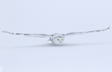 CN08BJY0155 Canada, Ontario. Snowy owl flies low to ground.