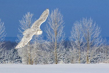 CN08BJY0157 Canada, Ontario. Female snowy owl in flight.