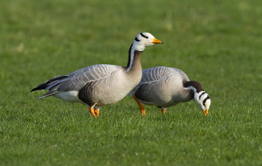 NIS00055174 Bar-headed Goose (Anser indicus) couple foraging on a meadow, The Netherlands, Gelderland, polder Arkemheen
