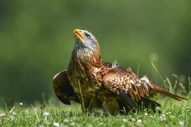 NIS00055397 Red Kite (Milvus milvus) in grassland looking above, Germany, Eifel