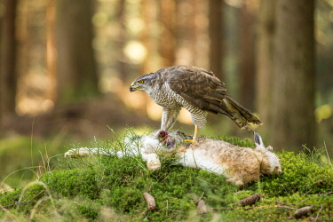 NIS00056757 (Northern Goshawk (Accipiter gentilis) feeding on a European Brown Hare (Lepus europaeus), Czech Republic, South Bohemia, Zdarske vrchy
