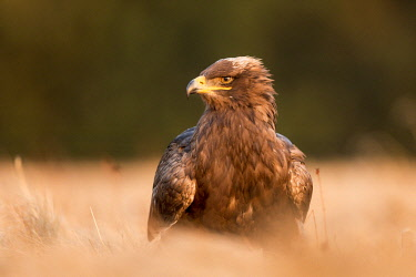 NIS00056778 Steppe Eagle (Aquila nipalensis) standing in long grass in evening light, Czech Republic, South Bohemia, Zdarske vrchy