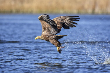 NIS00056943 White-tailed Eagle (Haliaeetus albicilla) in flight one second after catching a fish, Poland, Oderdelta