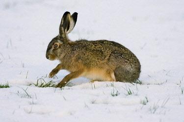 NIS00057239 European Hare (Lepus europaeus) foraging in snowy meadow, Arkemheen, Gelderland, The Netherlands
