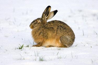 NIS00057257 European Hare (Lepus europaeus) in the snow, Arkemheen, Gelderland, The Netherlands