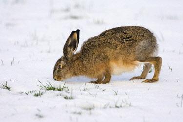NIS00057258 European Hare (Lepus europaeus) foraging in the snow, Arkemheen, Gelderland, The Netherlands