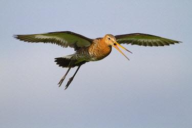 NIS00057292 Black-tailed Godwit (Limosa limosa) alarming flying, Arkemheen, Gelderland, The Netherlands