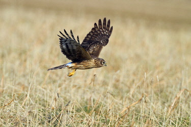 NIS00057453 Hen Harrier (Circus cyaneus) in flight over grain field, The Netherlands, Flevoland, Dodaarsweg