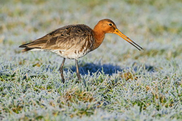 NIS00057463 Black-tailed Godwit (Limosa limosa) foraging on frozen meadow, The Netherlands, Gelderland, Arkemheen