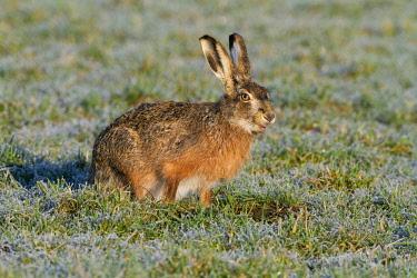 NIS00057465 European Hare (Lepus europaeus) foraging on frozen meadow, The Netherlands, Gelderland, Arkemheen