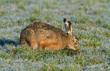 NIS00057467 European Hare (Lepus europaeus) foraging on frozen meadow, The Netherlands, Gelderland, Arkemheen