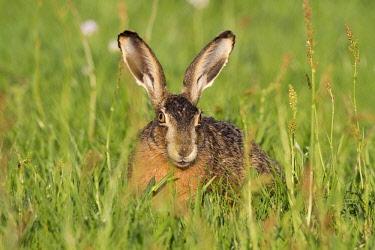 NIS00057482 European Hare (Lepus europaeus) foraging on meadow, The Netherlands, Gelderland, Arkemheen