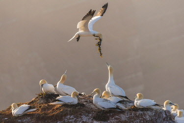 NIS00057531 Northern Gannet (Morus bassanus) carries nesting material to a colony, Germany, Helgoland