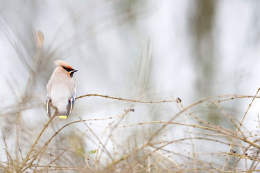Bohemian Waxwing (Bombycilla garrulus) perched on branch, The Netherlands, Flevoland