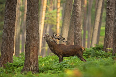 Red Deer (Cervus elaphus) adult stag bellowing in forrest, Germany, Nordrhein Westfalen
