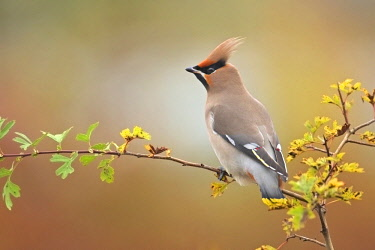 Bohemian Waxwing (Bombycilla garrulus) perched on a branch, The Netherlands