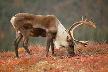 NIS00062341 Caribou (Rangifer tarandus) bull on tundra, eating vegetation, United States, Alaska, Denali National Park and Preserve