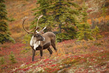 NIS00062413 Caribou (Rangifer tarandus) bull on tundra, United States, Alaska, Denali National Park and Preserve