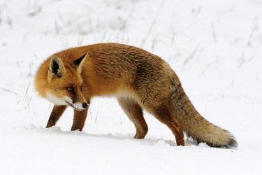 NIS00062730 Red Fox (Vulpes vulpes) in snow, Noord-Holland, The Netherlands