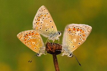 NIS00062778 Common Blue (Polyommatus icarus) butterflies sunning, Noord-Holland, The Netherlands