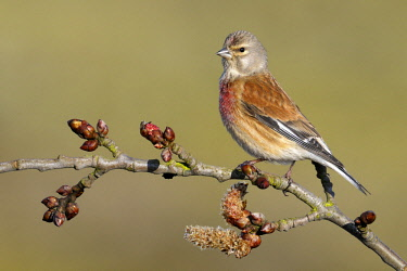NIS00062854 Linnet (Carduelis cannabina) perched on Cottonwood (Populus sp) branch, Noord-Holland, The Netherlands