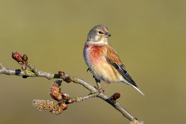 NIS00062858 Linnet (Carduelis cannabina) perched on Cottonwood (Populus sp) branch, Noord-Holland, The Netherlands