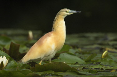 NIS00063098 Squacco Heron (Ardeola ralloides) standing amidst water lilies, Den Helder, The Netherlands