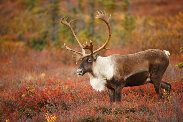 NIS00063354 Caribou (Rangifer tarandus) bull on tundra, United States, Alaska, Denali National Park and Preserve