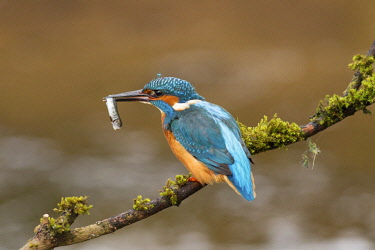 NIS00063464 European Kingfisher (Alcedo atthis) with Common minnow (Phoxinus phoxinus) whist fishing at riverside, United Kingdom, England