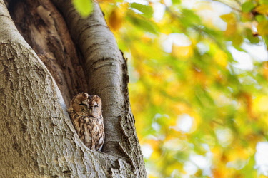 NIS00064438 One Tawny Owl (Strix aluco) perched in a cavity of a Common Beech (Fagus sylvatica) on a sunny day in autumn, the Netherlands, Utrecht, Laarsenberg