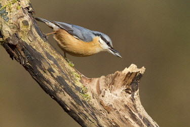 NIS00064719 European Nuthatch (Sitta europaea) with sunflowerseed in its beak, The Netherlands, Flevoland, Hulkesteinse bos