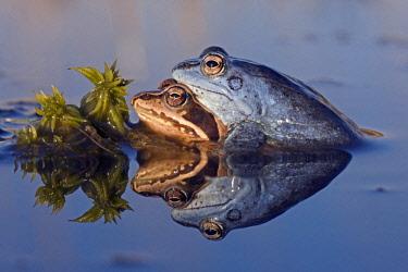 NIS00064742 Moor Frog (Rana arvalis) couple in amplexus, The Netherlands, Noord-Brabant