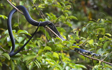 NIS00065026 Tropical Rat Snake (Spilotes pullatus) basking on branch in tree, Costa Rica, Limon, Tortuguero National Park